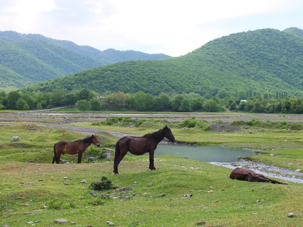 Horses grazing on banks of Alazani River