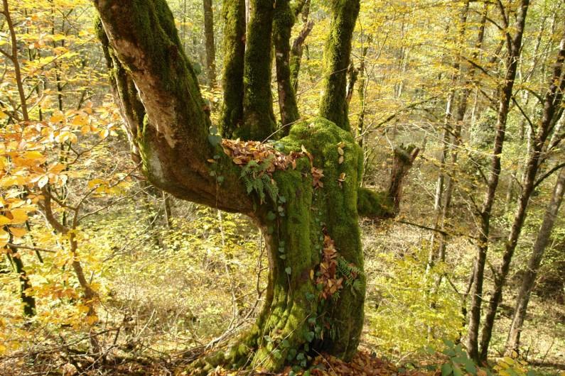 batsara trees
