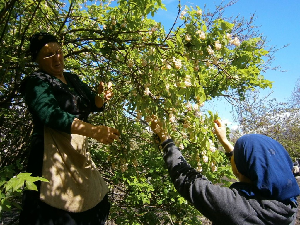 Mother and Teo harvesting Jonjoli flowers